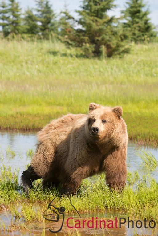 Alaska Brown Bears