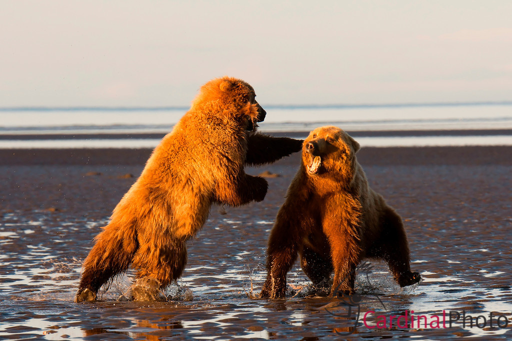 Alaskan Brown Bears