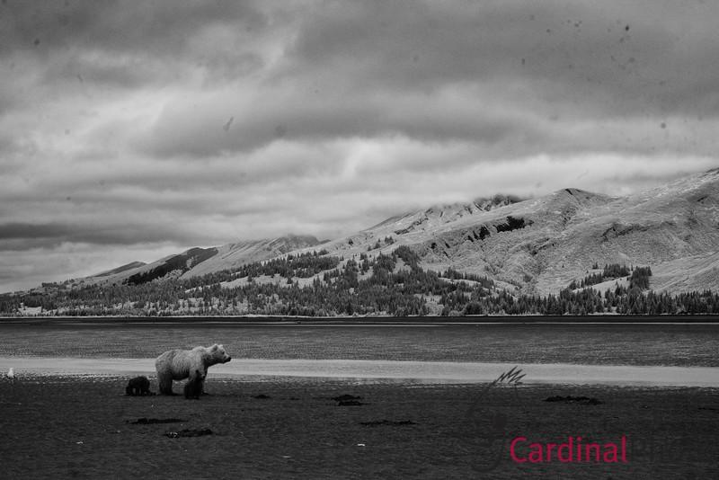 Coastal Brown Bears, Lake Clark Park, Alaska