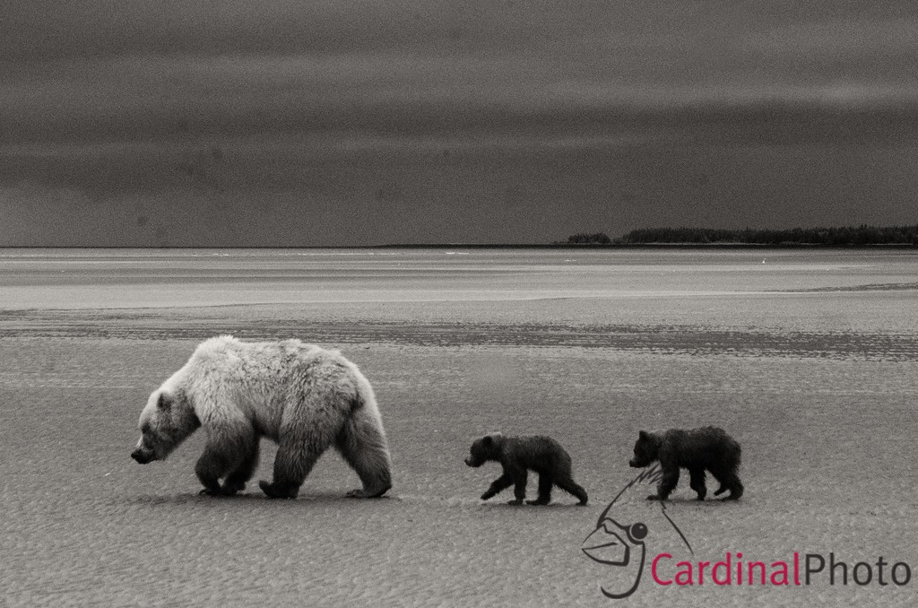 Coastal Brown Bears, Lake Clark Park, Alaska