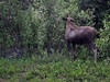 Also outside the visitor center--a moose calmly nibbles juicy leaves.