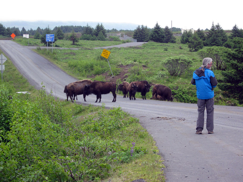 But buffalos--not so usual; I first saw this herd<br />  on my previous Kodiak trip, in 2008.