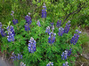 Now in Juneau--a lupine-filled walk with our hostess Jenny Pursell