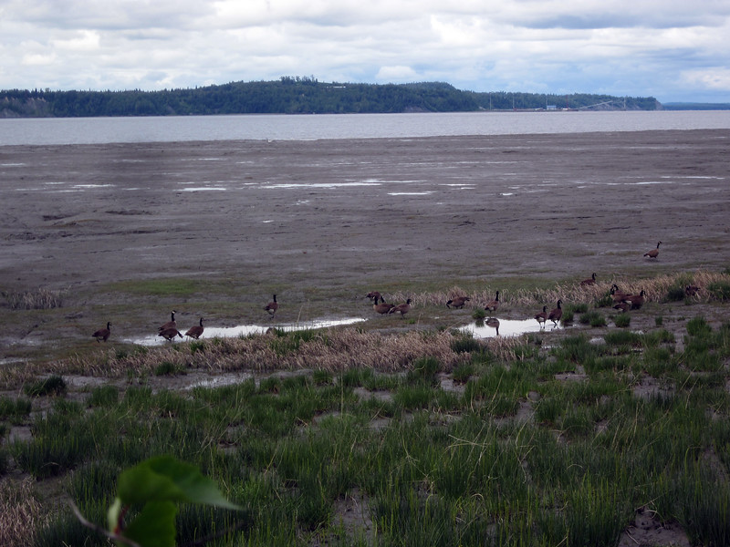 Canada geese at Potter's marsh, a bird-watching area just south of Anchorage
