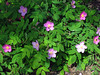 Wild roses thrive outside the visitor center--and many other places in Alaska