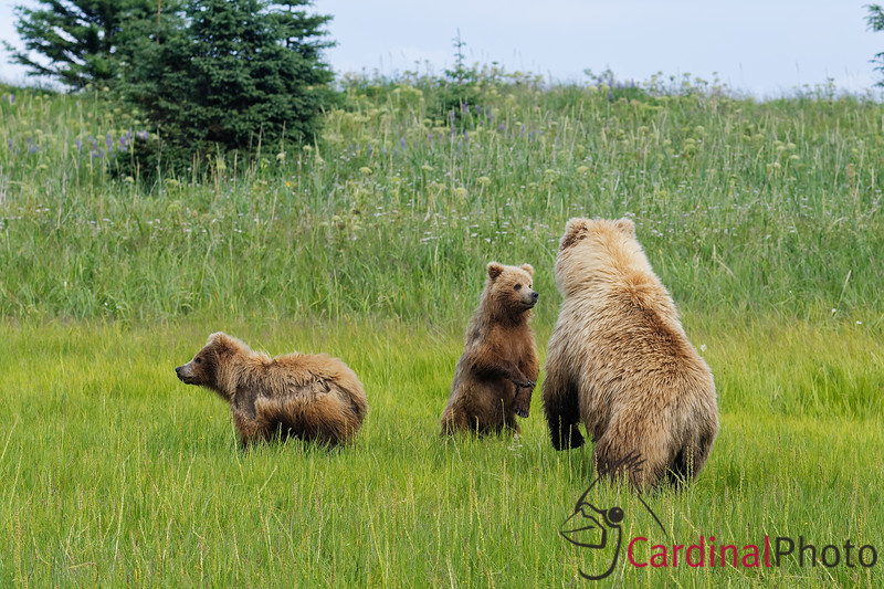 Alaska bear photo safari 2018