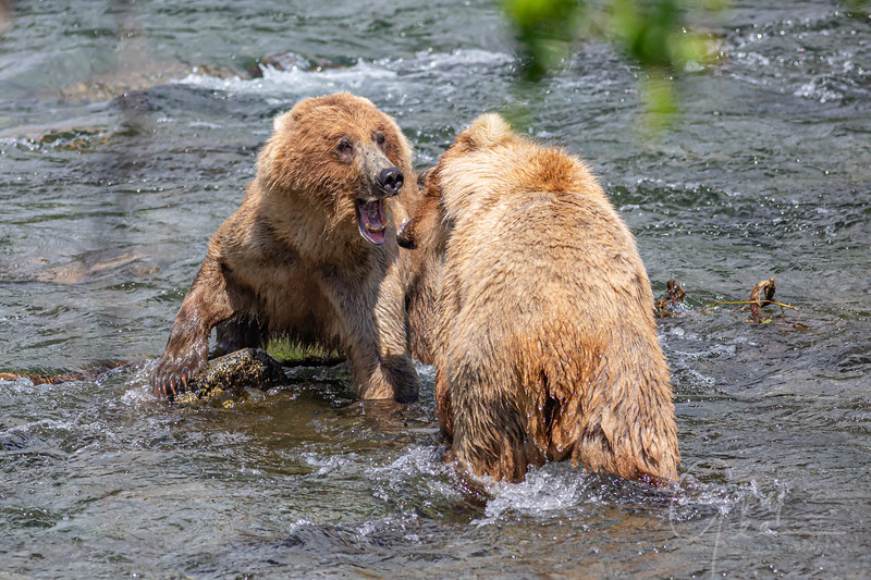 A little battle over fishing spots. Mama bear, with her back to us, fought off the challenge rather well...
