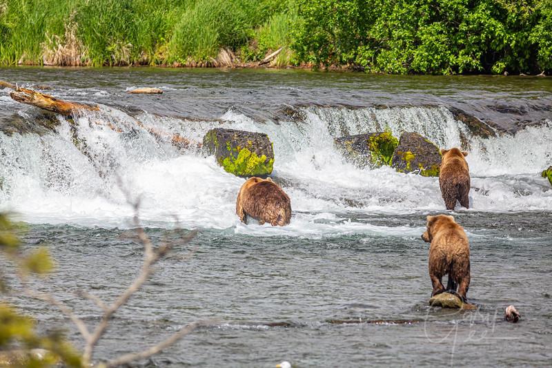 More Grizzly fishermen at Brooks Falls, Katmai National Park, Alaska