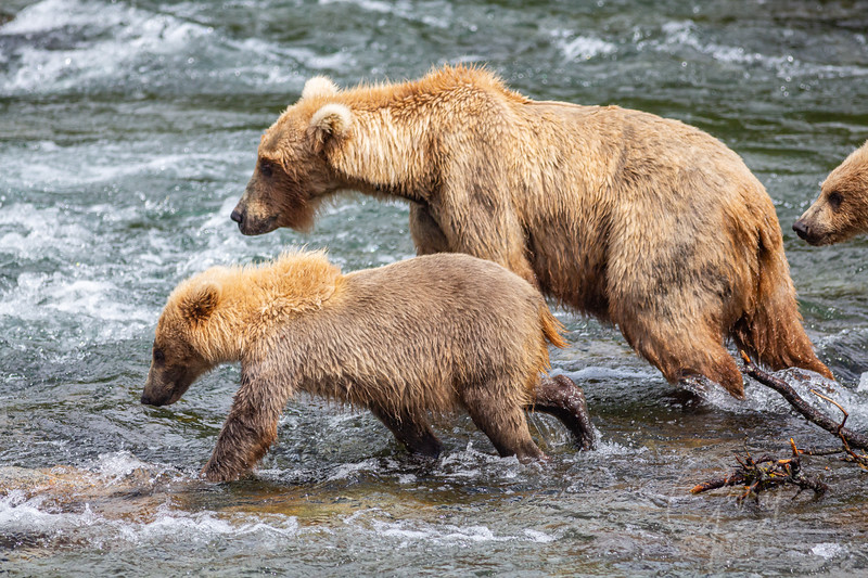 Sow and 2 cubs leaving the scene