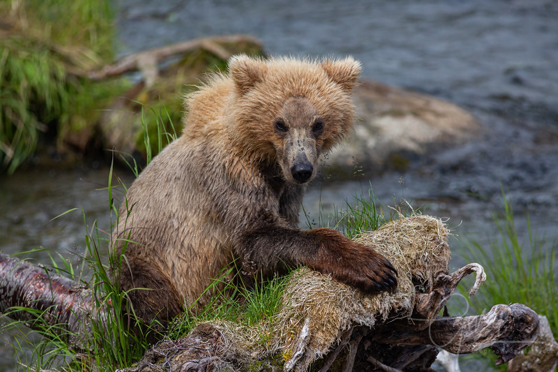 Grizzly Cub posing for me