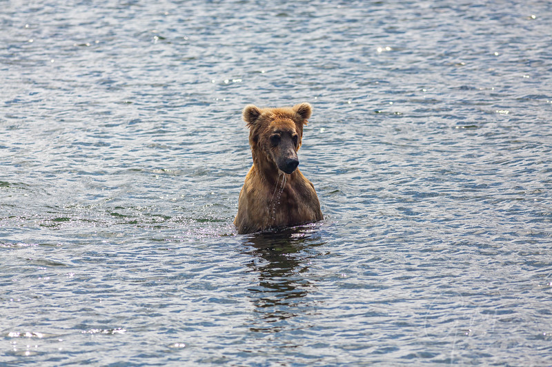 1st Grizz of the trip! Fishing for Salmon