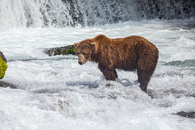 Grizzly at Brooks Falls, AK