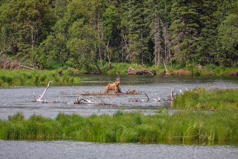 Couple of bears doing some fishing.