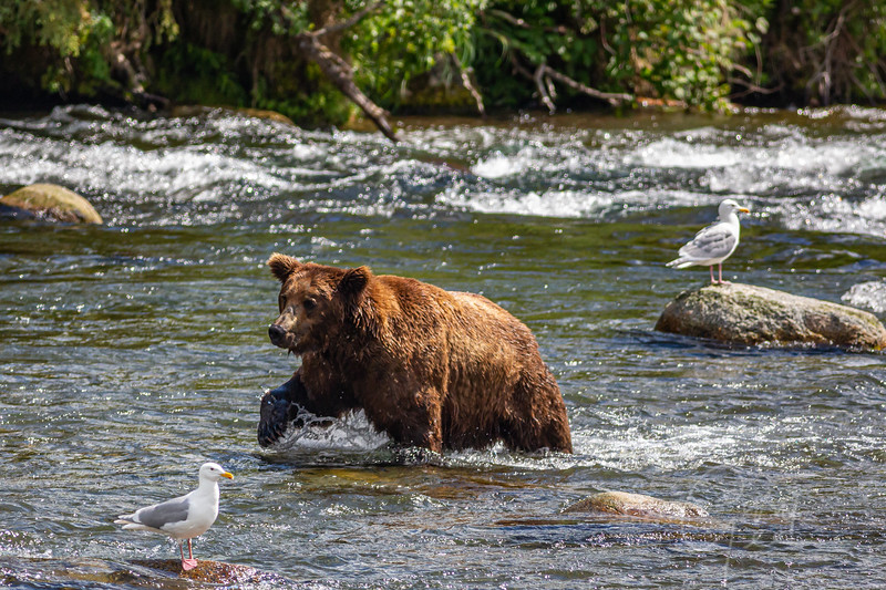 Making his way up to the falls, but always a keen eye out for movement in the water.