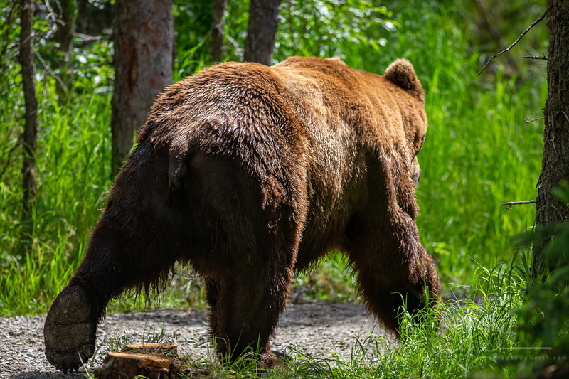 1st close encounter with a Grizzly. Glad he stepped out on the path behind me and decided to go the other way! This shot was after shaking in my boots trying to hold the camera still. Whew!