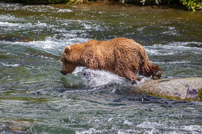 Diving off the rock for a chance at a salmon...