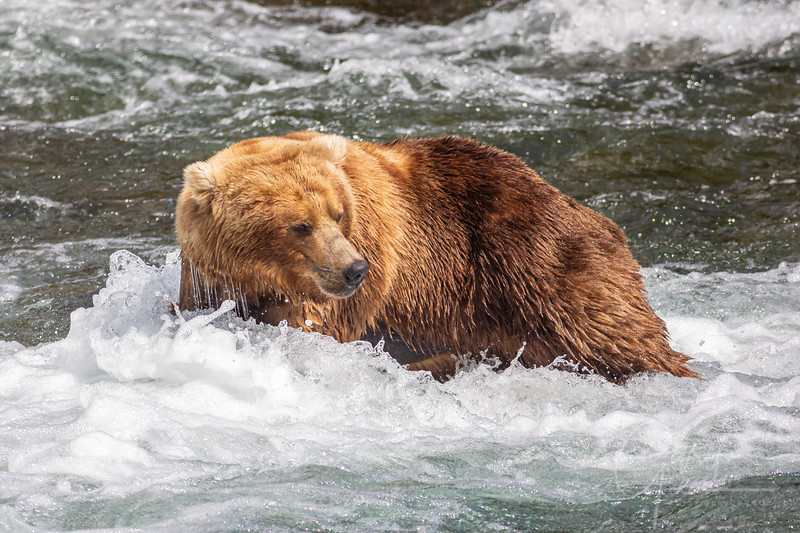 I was amazed how these Grizzly's could stand in this rushing water amongst all the rocks.