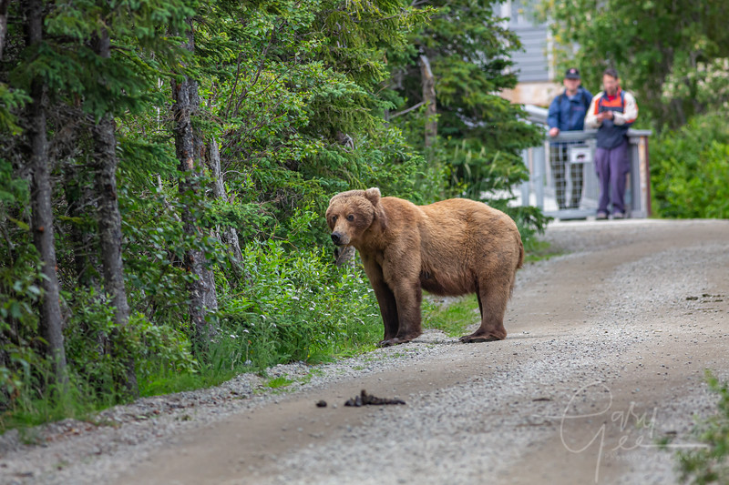 My last close encounter on the trail back to the plane. He just left a pile before deciding to step off the trail. People in the background at the bear gate that crosses the river.