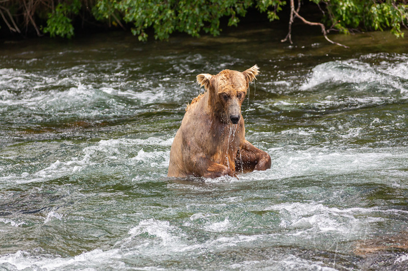 Mama bear misses her shot at grabbing a salmon. She was one of the better at catching though!