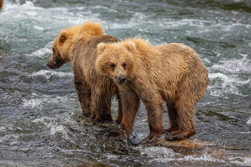 Two Grizzly Cubs waiting nearby for mom to snag another one!