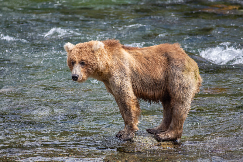 Young bear looking for some salmon action