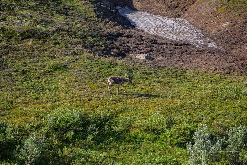 A caribou in the grasslands