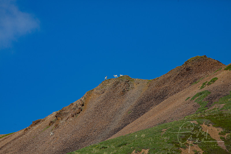 Dall Sheep high up in the mountains of Denali National Park