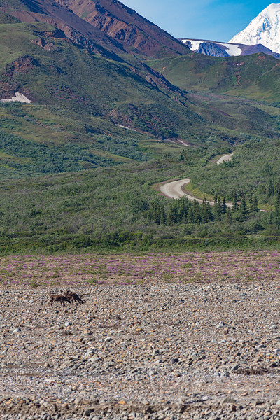 Caribou always seemed to be down in the valleys and river beds. Denali off in the background.