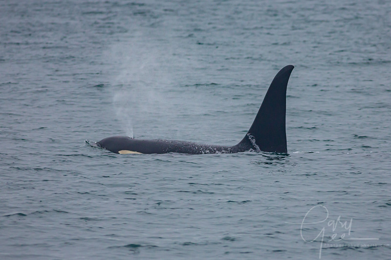 Killer whale nearby!