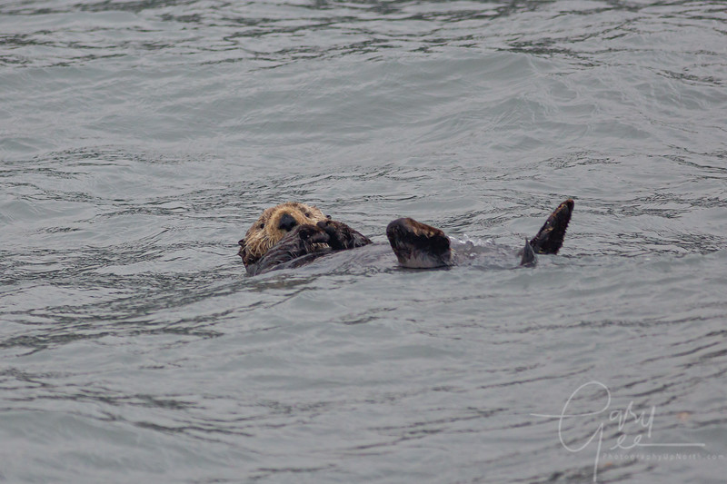 Sea Otter just chilling...