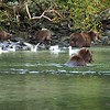Grizzly Mom & Cubs