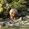 Grizzly Subadult