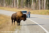 Wood Bison and other travelers on the Alaska Highway in Canada.<br /> October 2008
