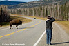 Wood Bison and another photographer on the Alaska Highway in Canada.<br /> October 2008
