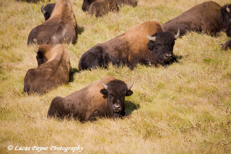 Wood Bison along the Alaska Highway in Canada.<br /> October 2008