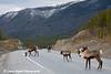 Caribou along the Alaska Highway in Canada.<br /> October 2008