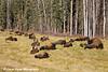 Wood Bison along the Alaska Highway in Canada.<br /> October 2008