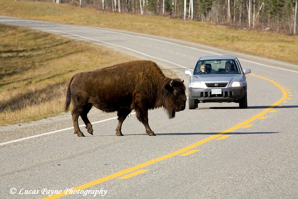 Wood Bison and another traveler on the Alaska Highway in Canada.<br /> October 2008