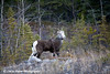 Stone Sheep along the Alaska Highway in Canada.<br /> October 2008