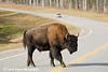 Wood Bison on the Alaska Highway in Canada.<br /> October 2008