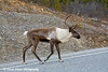 Caribou along the Alaska Highway in Canada.<br /> October 2008