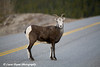 Stone Sheep on the Alaska Highway in Canada.<br /> October 2008