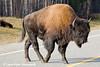 Wood Bison on the Alaska Highway in Canada.<br /> October 2008
