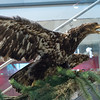Stuffed juvenile bald eagle, Alaska Historical Collections, Juneau