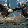 Example bald eagle nest, Alaska Historical Collections, Juneau