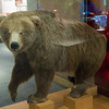 Stuffed brown bear, Alaska Historical Collections, Juneau