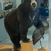 Stuffed black bear, Alaska Historical Collections, Juneau