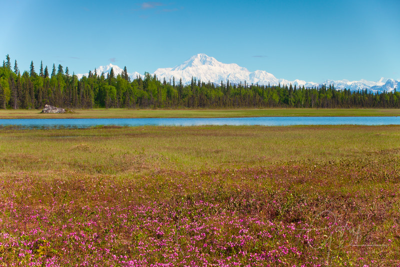 Denali - Mt. McKinley with red flowers in the foreground