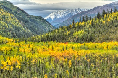 Aspen trees in Denali National Park