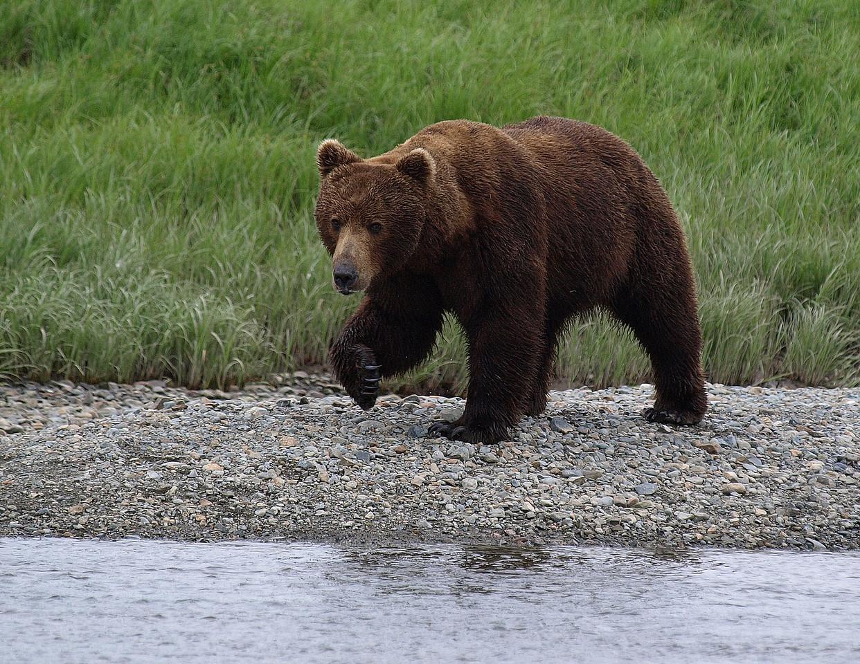 Nice dark brown bear - with nice big claws.